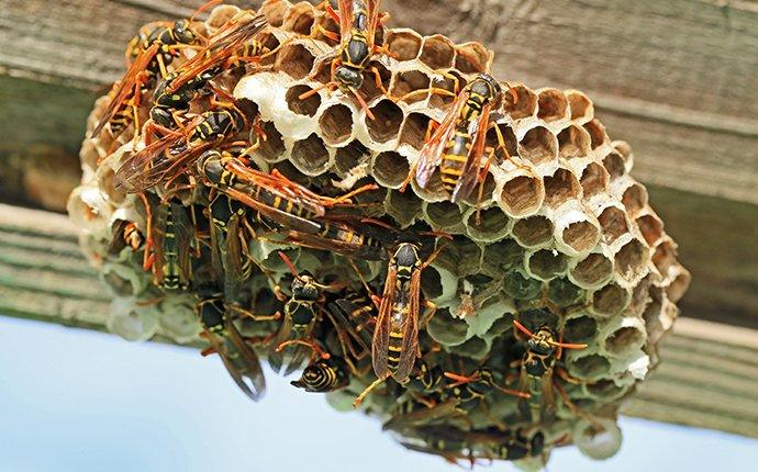 paper wasps climbing on a nest