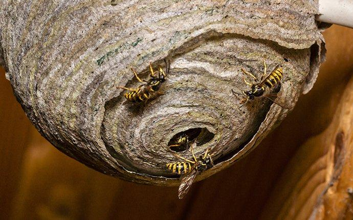 wasp nests with wasps