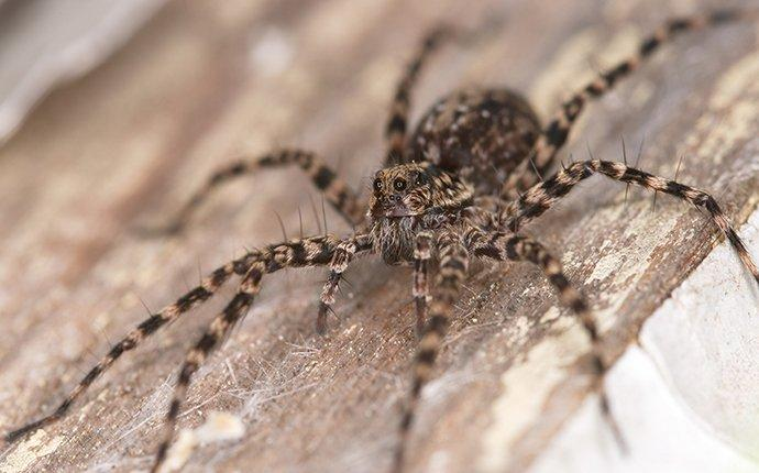 a wolf spider on wood in a home