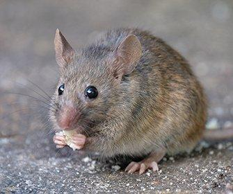 little rodent eating crumbs