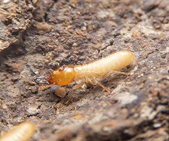 termite near home