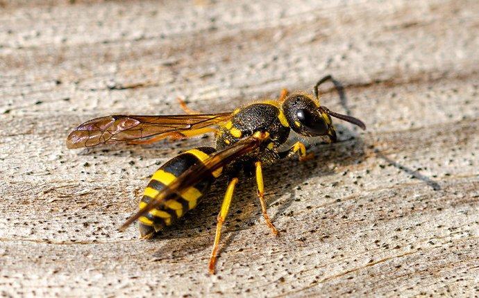 hornet up close