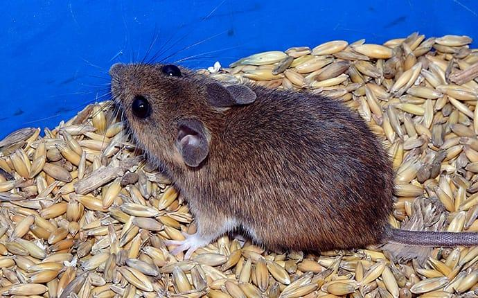 a house mouse in grains in belmont california