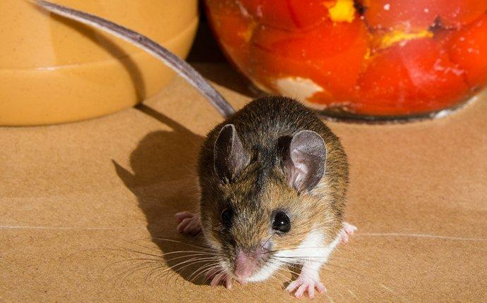 mouse on kitchen counter