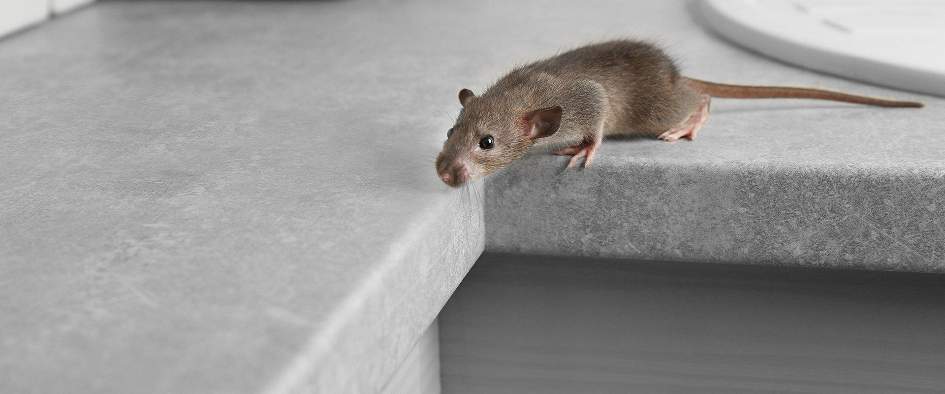 a small rat on a kitchen counter