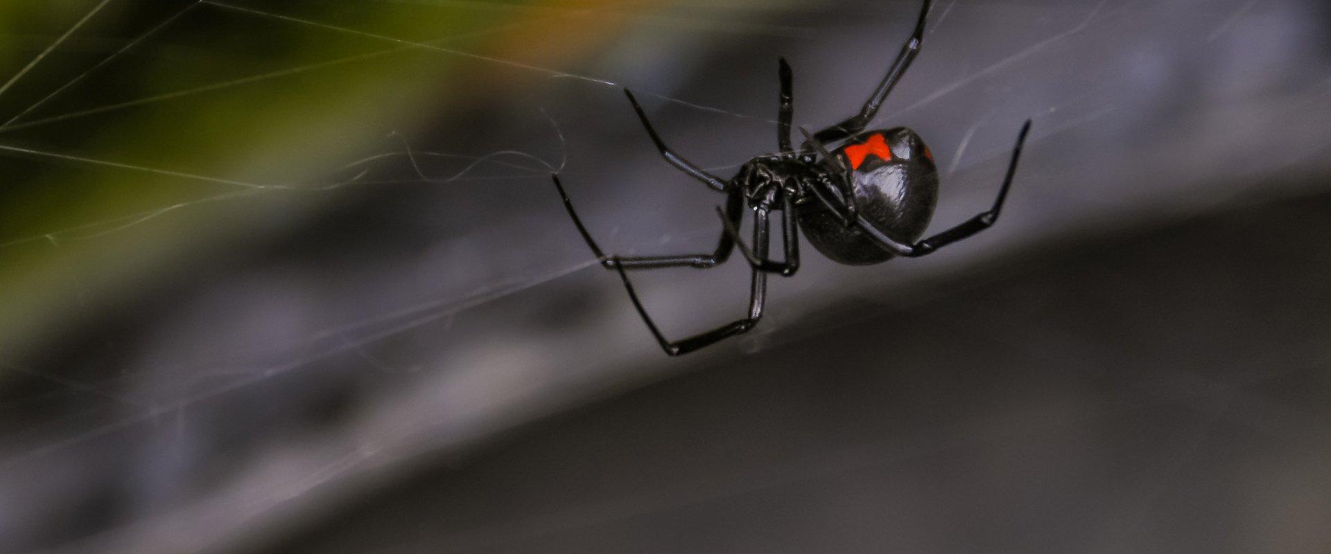 black widow spider on web