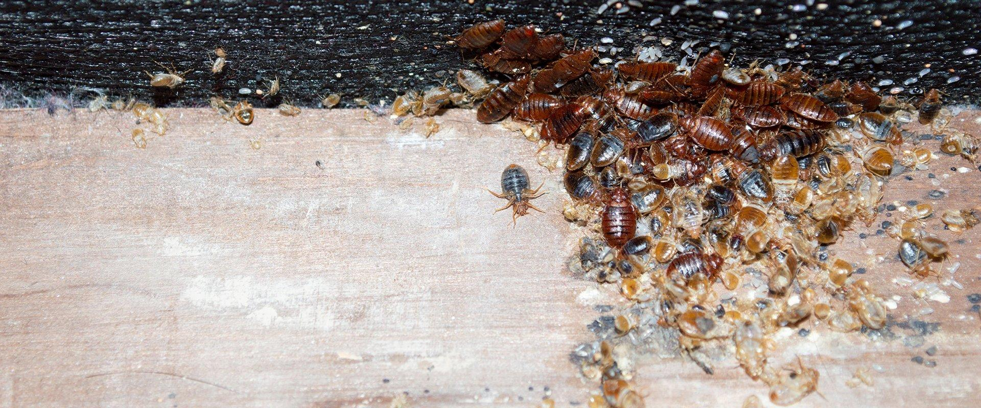 bed bugs on an old box spring