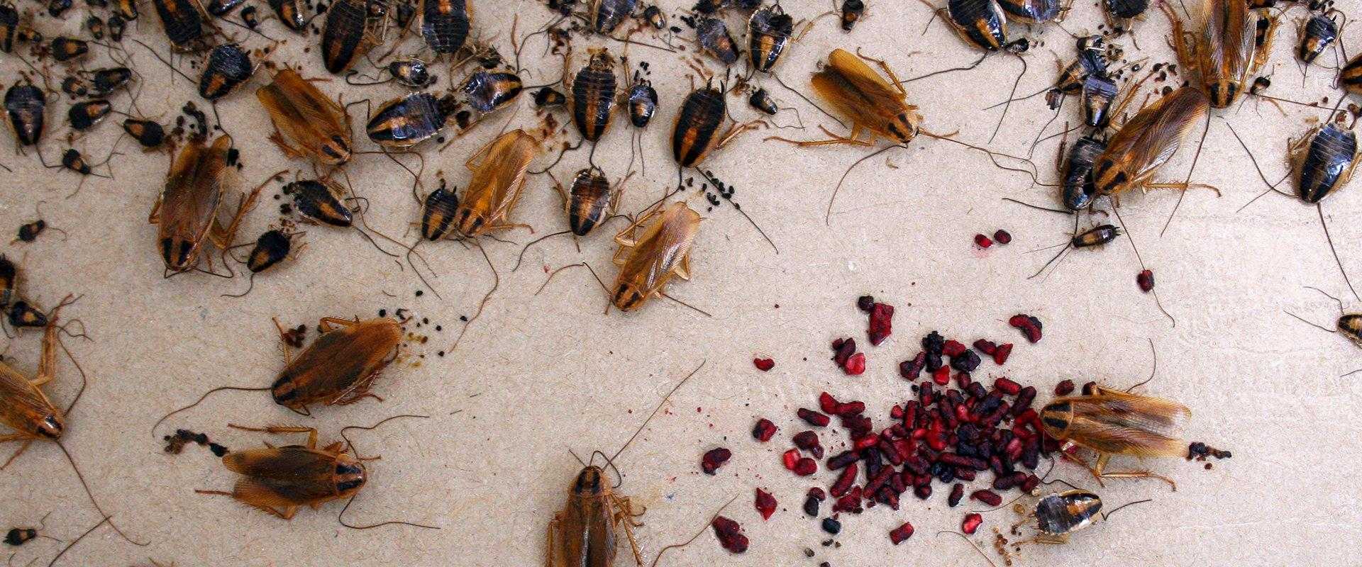 german cockroaches stuck on a glue board