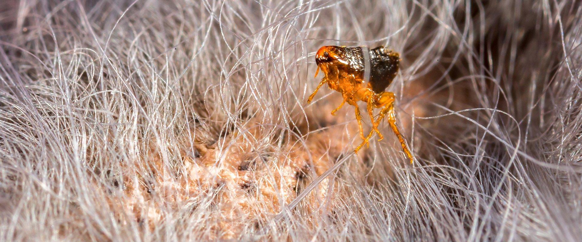 a flea on a cat