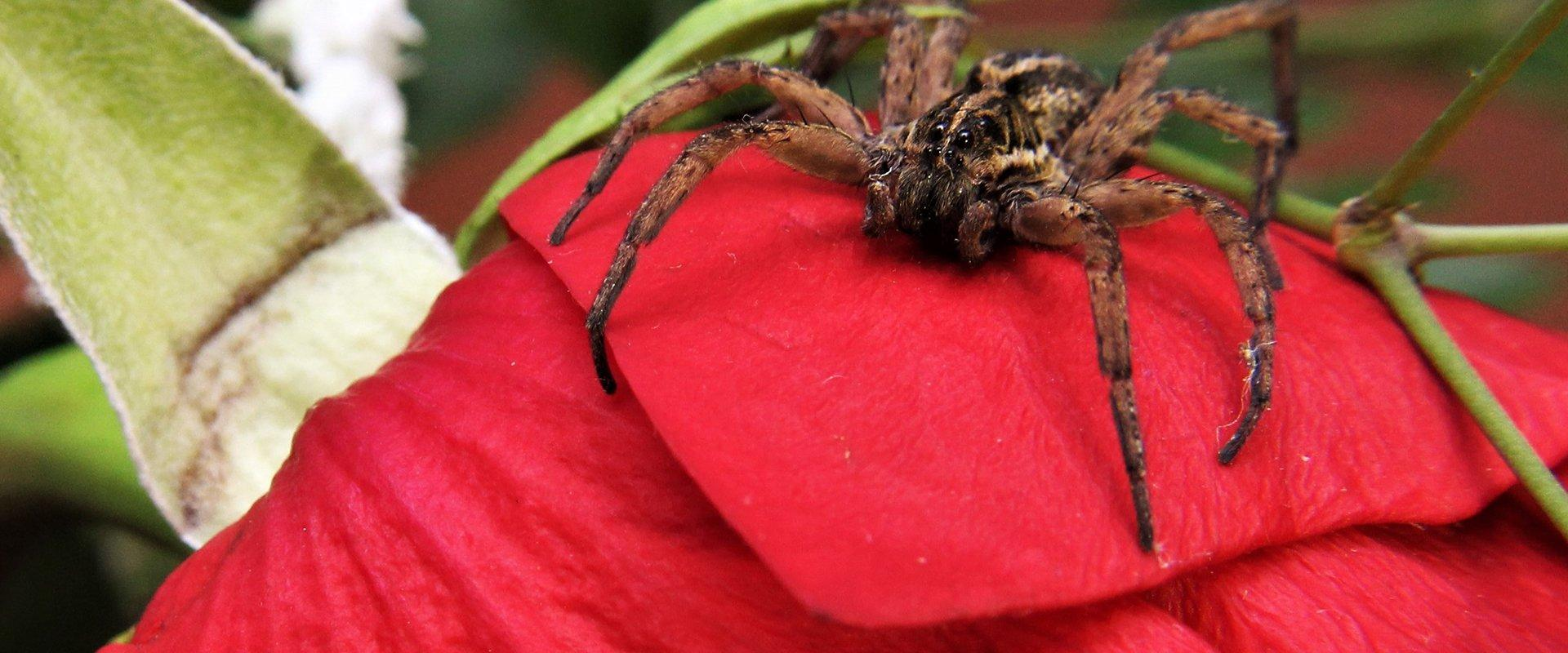 a wolf spider on a bright red rose