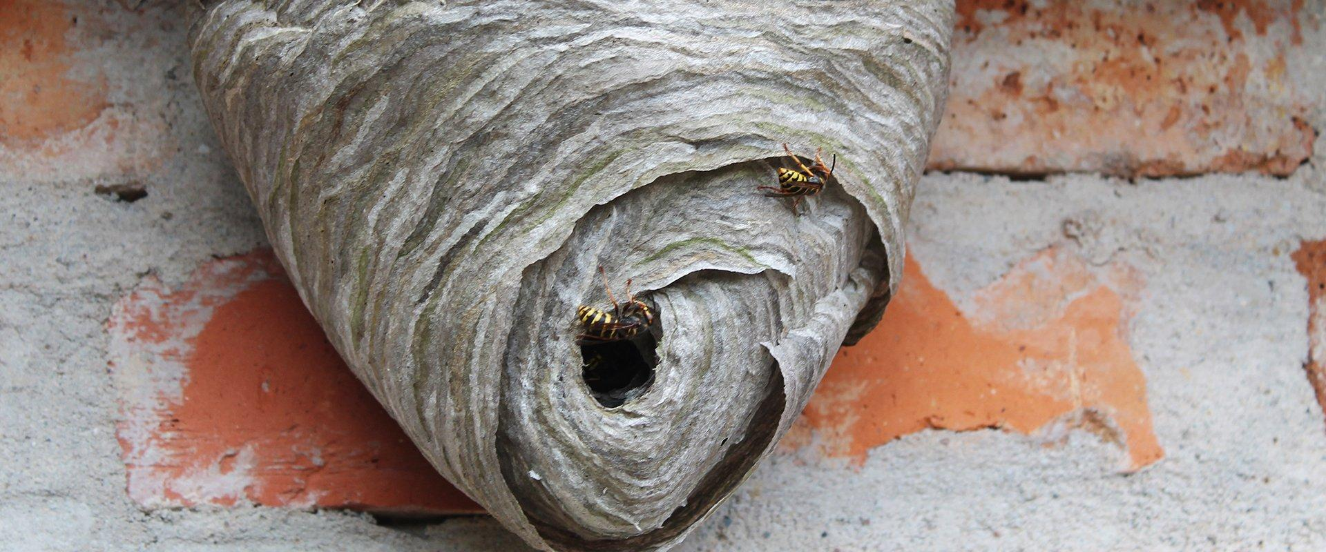 two wasps on a nest outside of house