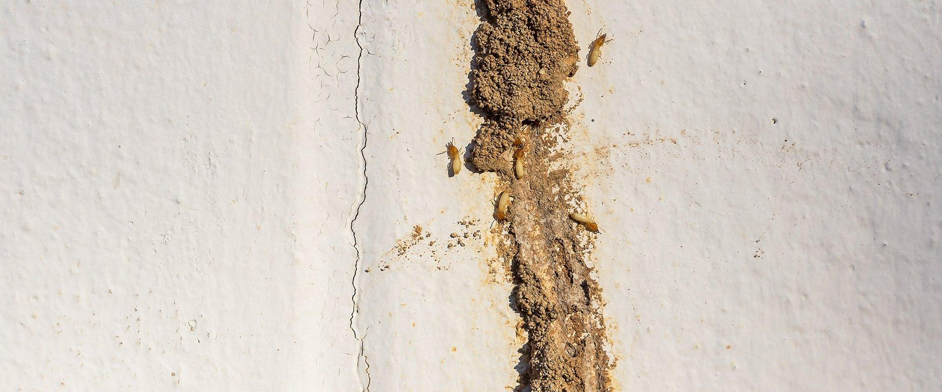 termites coming out of a mud tube