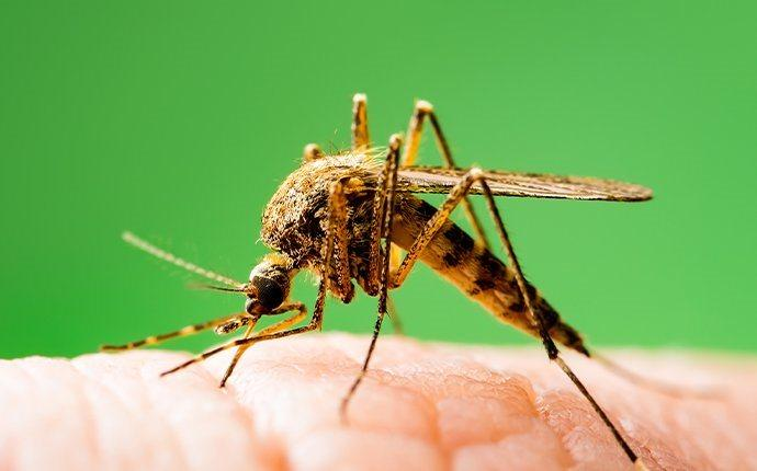 a mosquito biting a san lorenzo residents skin
