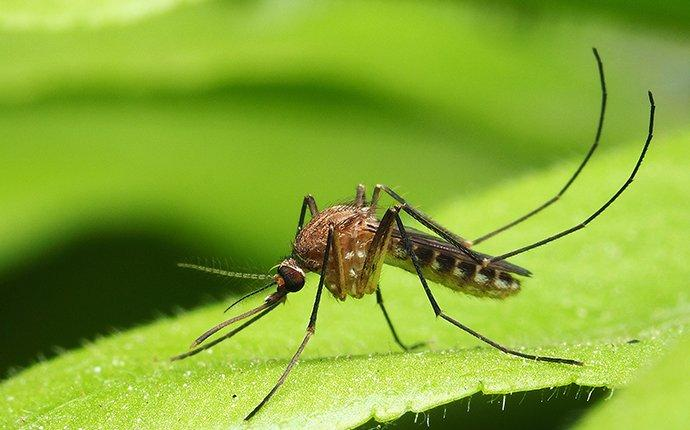 close up of a mosquito