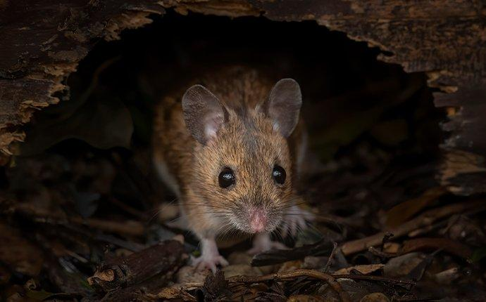 mouse entering home