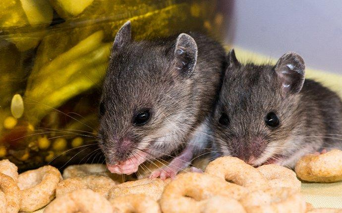 a family of mice in a pantry in redwood city california