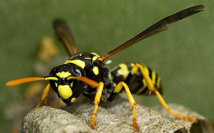 paper wasp walking on nest