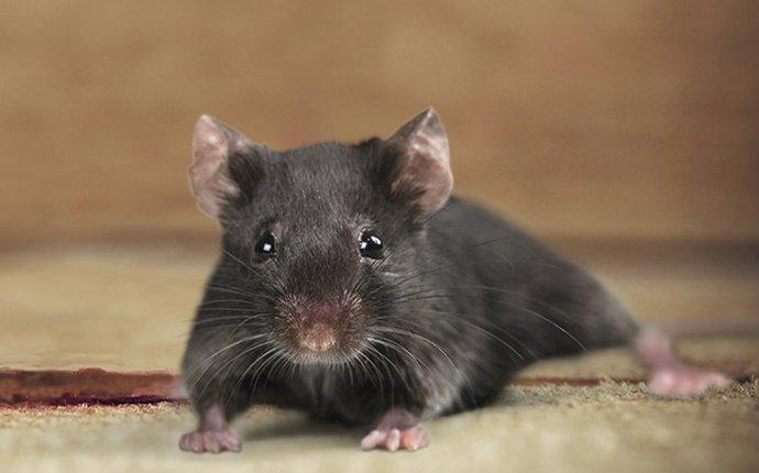 a rodent infesting a home in livermore california
