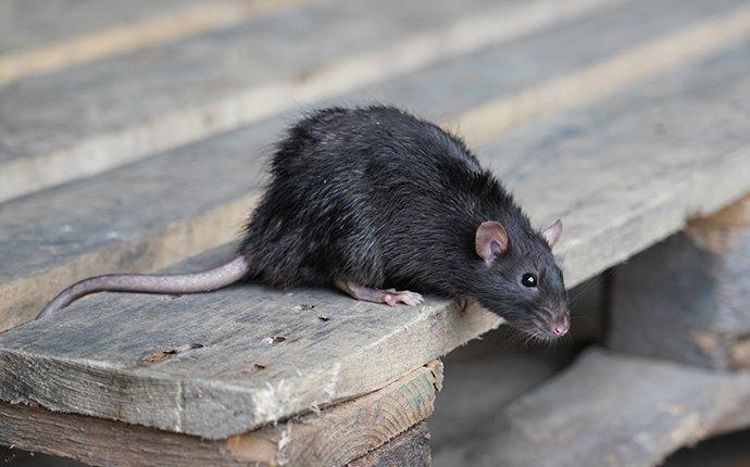 a rat on a wooden pallet