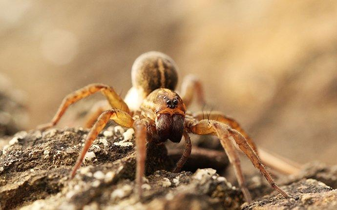 a wolf spider in california