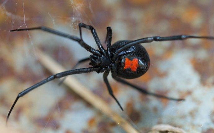 a black widow outside a house