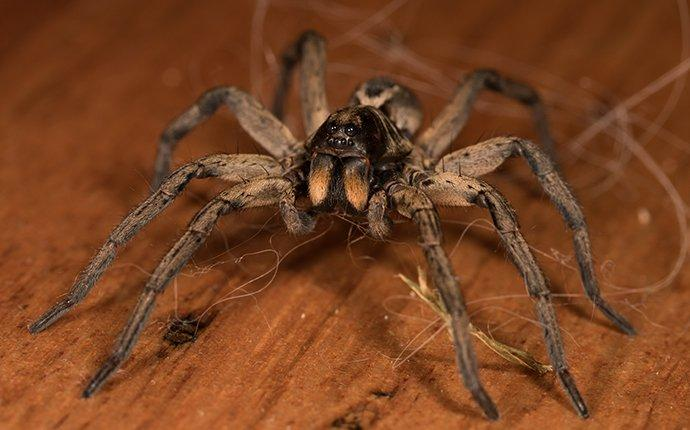 a wolf spider on a table