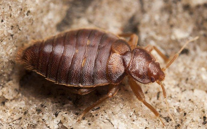 a bed bug in a walnut creek home