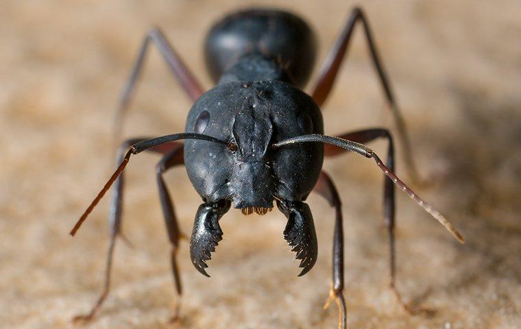 one carpenter ant up close