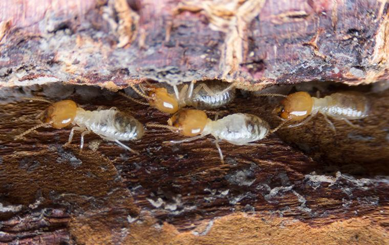 a colony of termite in a wooden structure