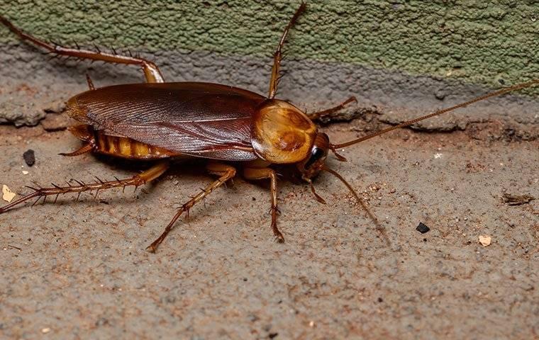 an american cockroach crawling along a basement wall