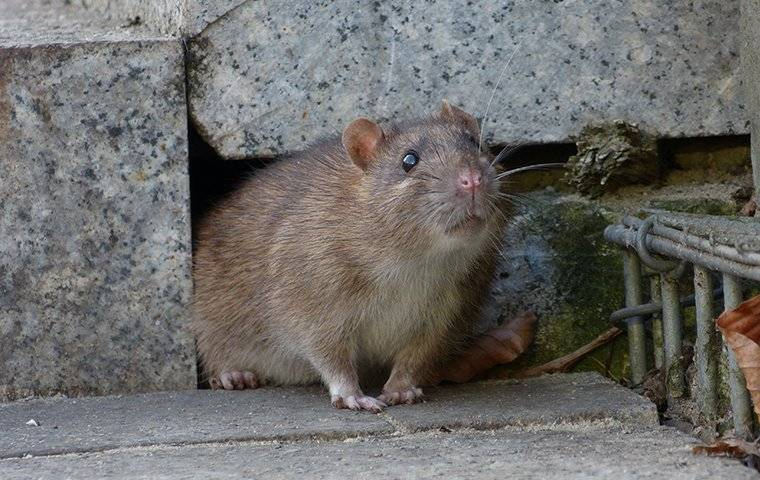 norway rat coming out of crack