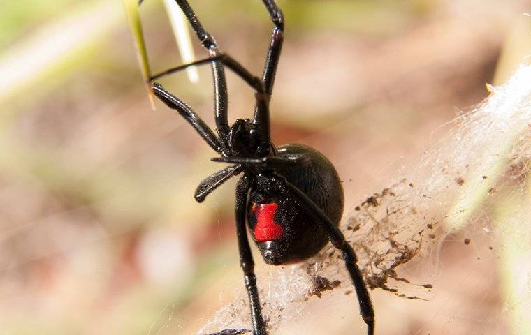 black widow spider up close