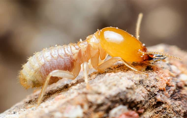 big termite up close