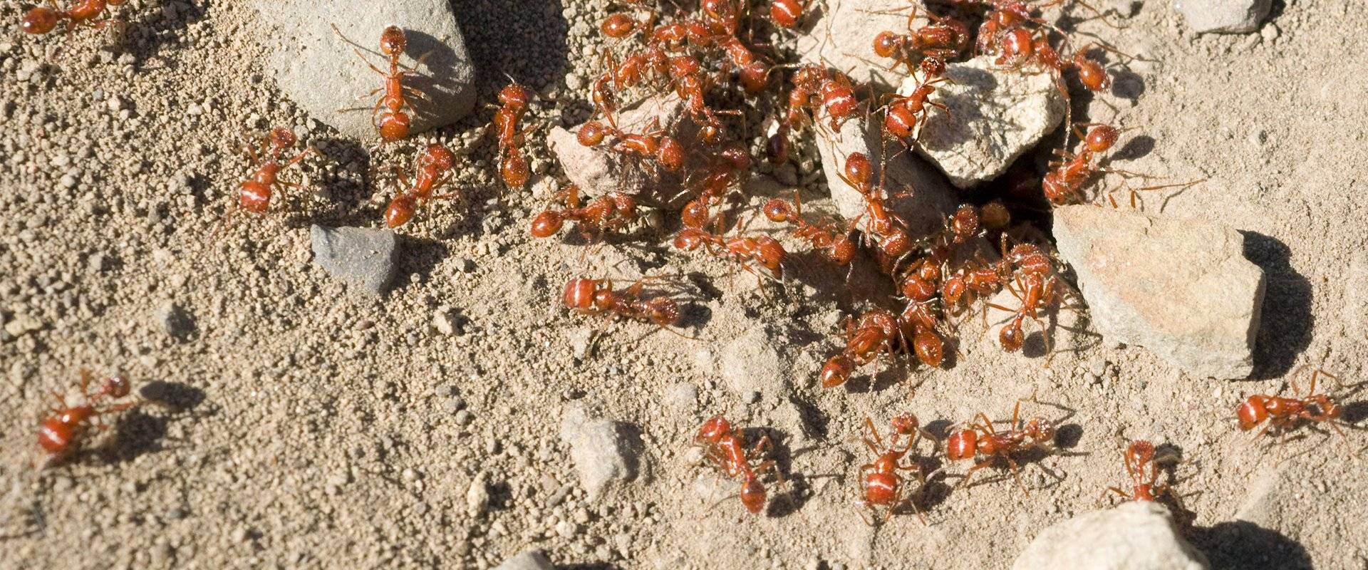 fire ants swarming