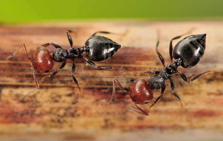 a group of acrobat ants crawling on wood inside a marine city michigan home