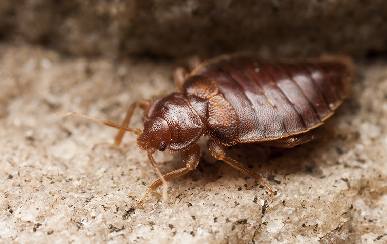 a bed bug crawling on the ground in port huron michigan
