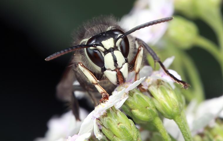 a bald face hornet up close in fort gratiot michigan