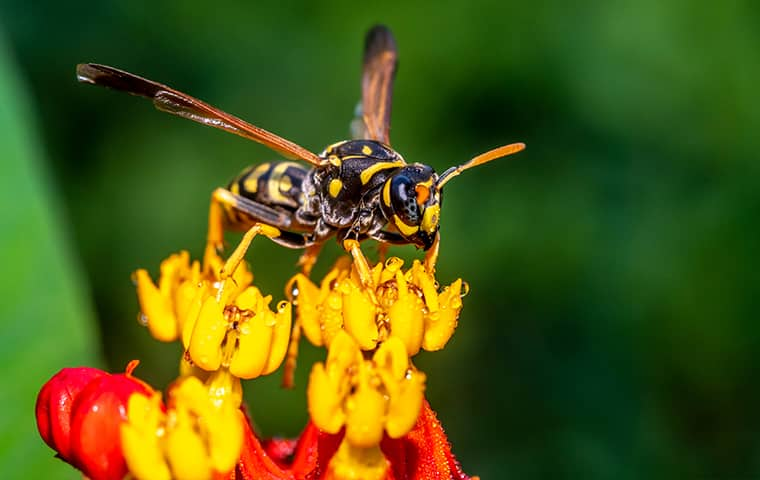 a yellow jacket perched on a flower outside in michigan