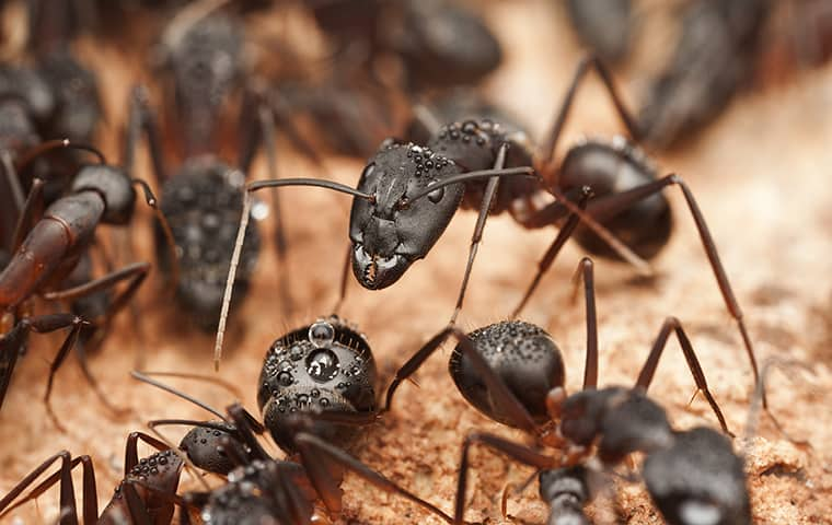 a colony of carpenter ants up close outside in michigan