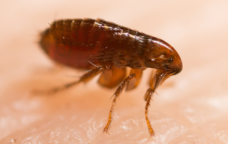 a flea up close on human skin in imlay city michigan
