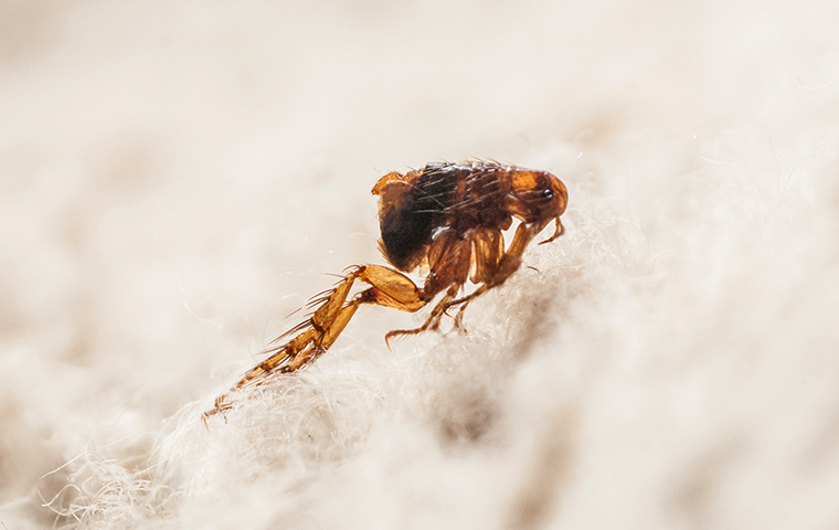 a flea jumping from a dog inside a smiths creek michigan home