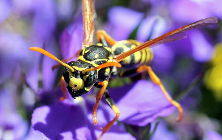 a paper wasp on a purple flower outside in fort gratiot michigan