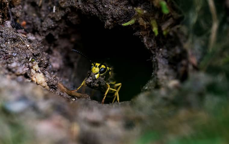 a wasp burrowed outside in memphis michigan