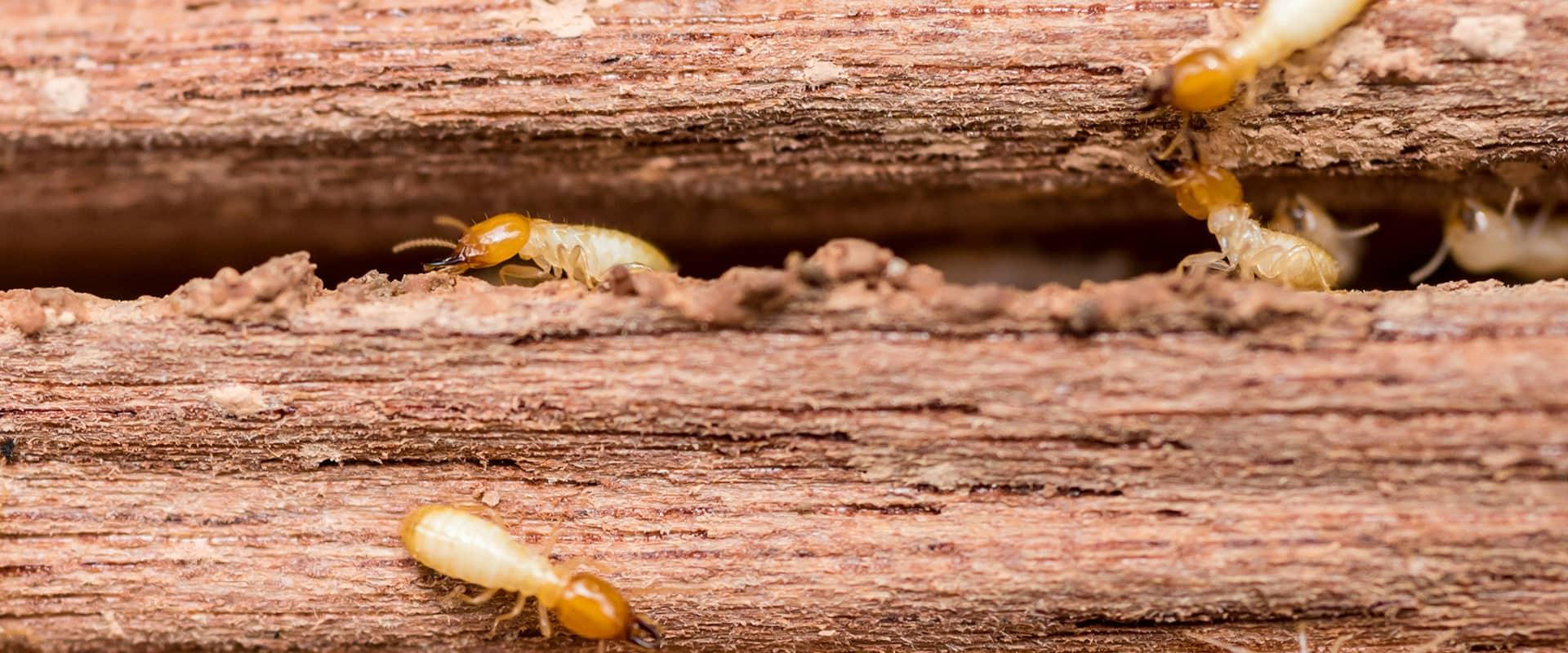 termites tunneling through wood at a home in port huron michigan