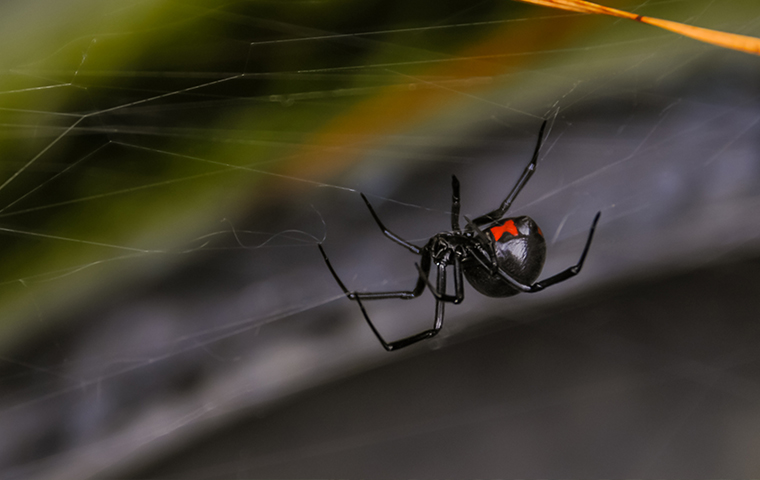 a black widow spider on a web in kimball michigan