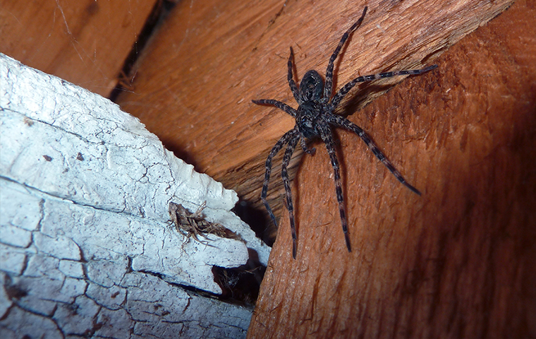 a giant wolf spider crawling on the floor of a saint clair michigan home