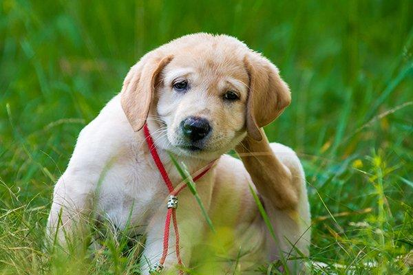 a puppy scratching fleas