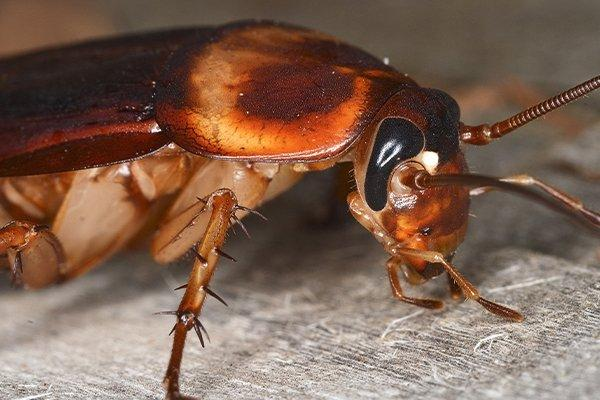 american cockroach crawling on a wood bench