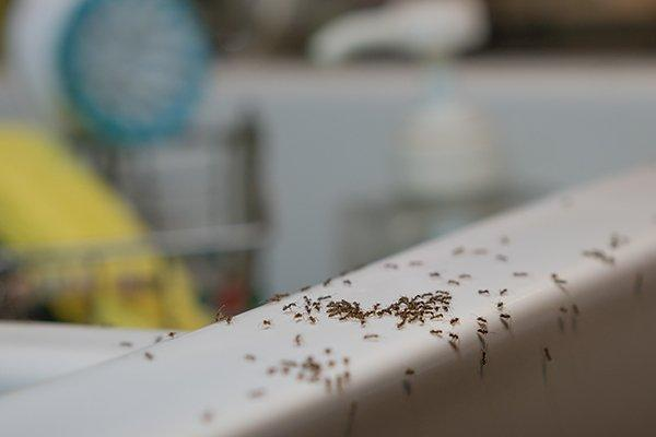 ants crawling on a kitchen sink