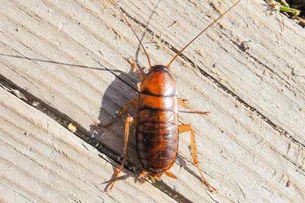 asian cockroach crawling on a wooden deck
